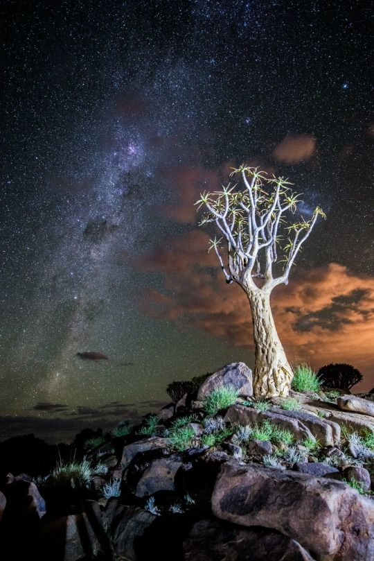 Quiver Tree, Kokerboomkloof, Richtersveld National Park, South Africa