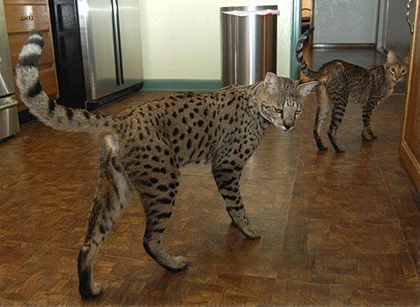 Savannah cat- I want one so I can walk it on a leash and freak people out!!!!