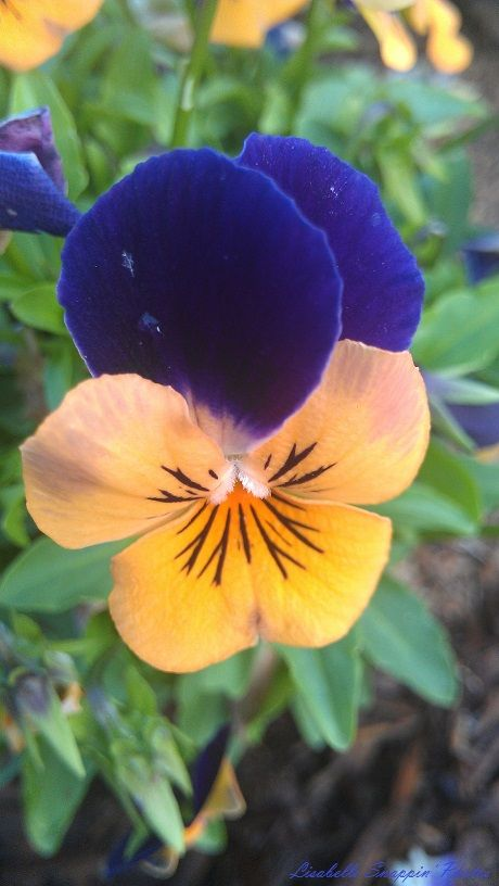 Royal Blue & Yellow Pansy Duncan 2014