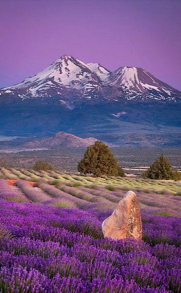 Lavender Fields.. Shasta Valley, Siskiyou County, California, U.S | by Sean Bagshaw
