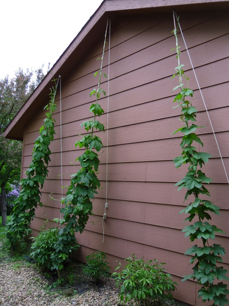 87 Best Growing Hops Images On Pinterest Book Books And