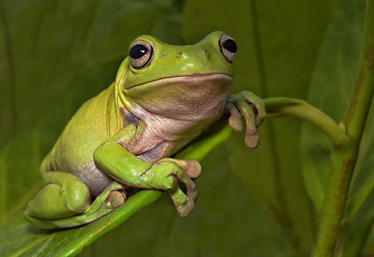 Green Tree Frog - Green Tree frog on a leaf