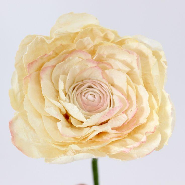 Long Stemmed Paper Ranunculus- White Ivory – Paper Flowers Australia