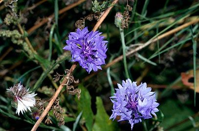Centaurea cyanus - rare in the wild in the UK, but still quite common in europe = difficult to make a case for conservation. threatened due to agriculture