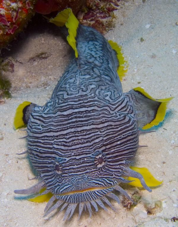 Splendid Toad fish - only found in the waters around the island of Cozumel, Mexico
