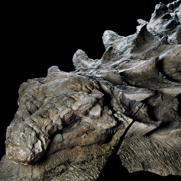 The Royal Tyrrell Museum in Drumheller, Alberta, is putting on display the best-preserved fossil of a 110 million-year-old dinosaur ever found. A 110 million-year-old fossil of an armored, plant-eating dinosaur called a nodosaur is the best-preserved specimen of its kind. Credit Robert Clark/National Geographic