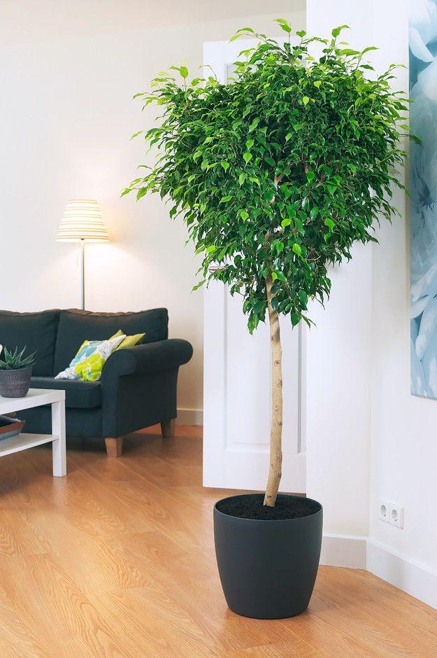 Растения не только очищают и увлажняют воздух в помещении, но и украшают интерьер. Особенно хорошо с этими задачами справляются комнатные деревья. Среди них есть как капризные, так и совсем неприхотливые, а главное в уходе за теми и другими — своевременная пересадка. О 10 комнатных деревьях, которые лучше всего вписываются в интерьер — в нашей подборке на «Леди Mail.Ru».
