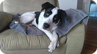 Denver, CO - Australian Shepherd Mix. Meet Barkley, a dog for adoption. http://www.adoptapet.com/pet/16703445-denver-colorado-australian-shepherd-mix