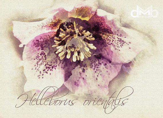 Helleborus orientalis  Digital Download Art botanical print