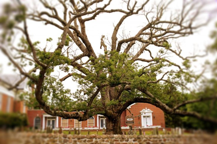 The oldest white oak tree in the country is dying — and no one knows why - The…