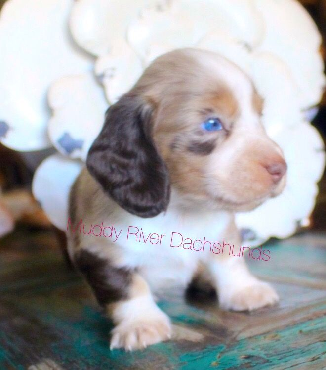 Gorgeous Chocolate And Tan Dapple Piebald Longhair Dachshund Dachshund Puppy Miniature Funny Dachshund Dachshund Puppies