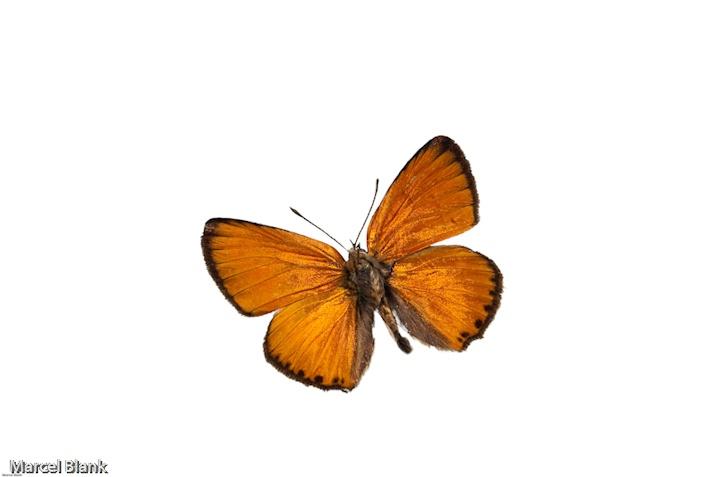 Naturkunde | Schmetterling | Museum und Galerie Falkensee