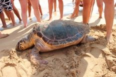 Stranded Turtle on Avithos, Kefalonia   | check it out at http://wildlifesense.com