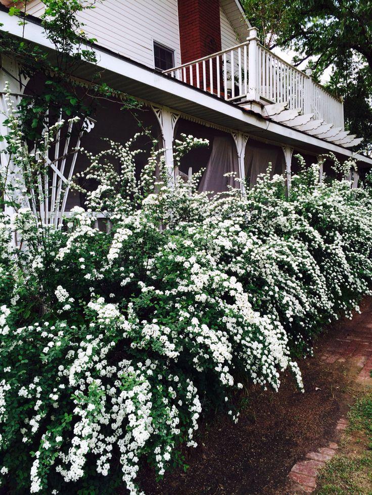 Bridal Wreath Spirea Bridal Wreath Spirea Flowering