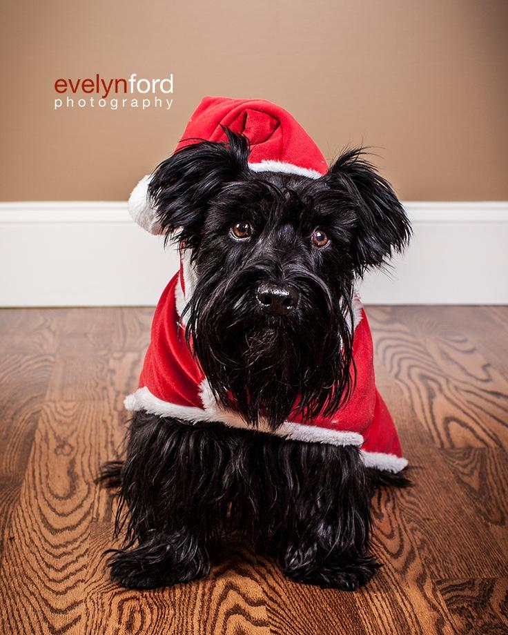 Mackie, the Scottish Terrier, dressed like Santa