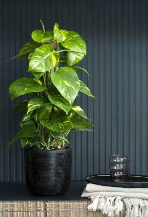 Efeutute  ständiger Gast  - Badezimmer  Raumbegrünung  schattiger Standort - Kletterpflanze
