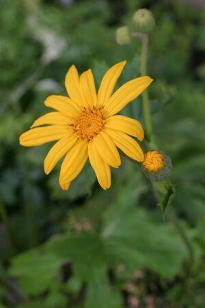 Palmblatt-Goldkolben, Kreuzkraut Ligularia x palmatiloba   Asteraceae