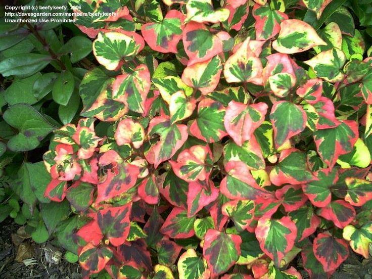 Chameleon Plant 'Chameleon' Houttuynia cordata Sun/Part Shade, Ponds