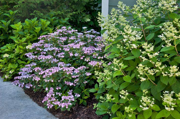 Ten Top Tips For Small Shady Urban Gardens: 'TuffStuff' Lacecap Hydrangea Hardy To Zine 5. Reblooms