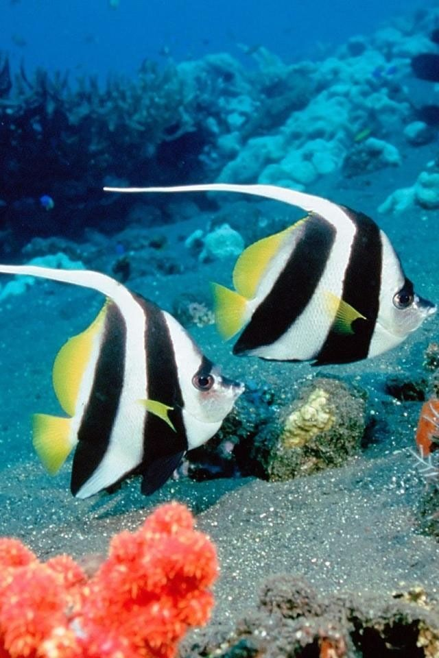 51 best images about tropical fish on pinterest how to for 405 tropical fish