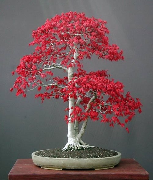 Japanese maple tree bonsai. The desired outcome in the Japanese horticultural art of bonsai is the appearance of natural irregularity; the discipline required needs to be highly regimented.