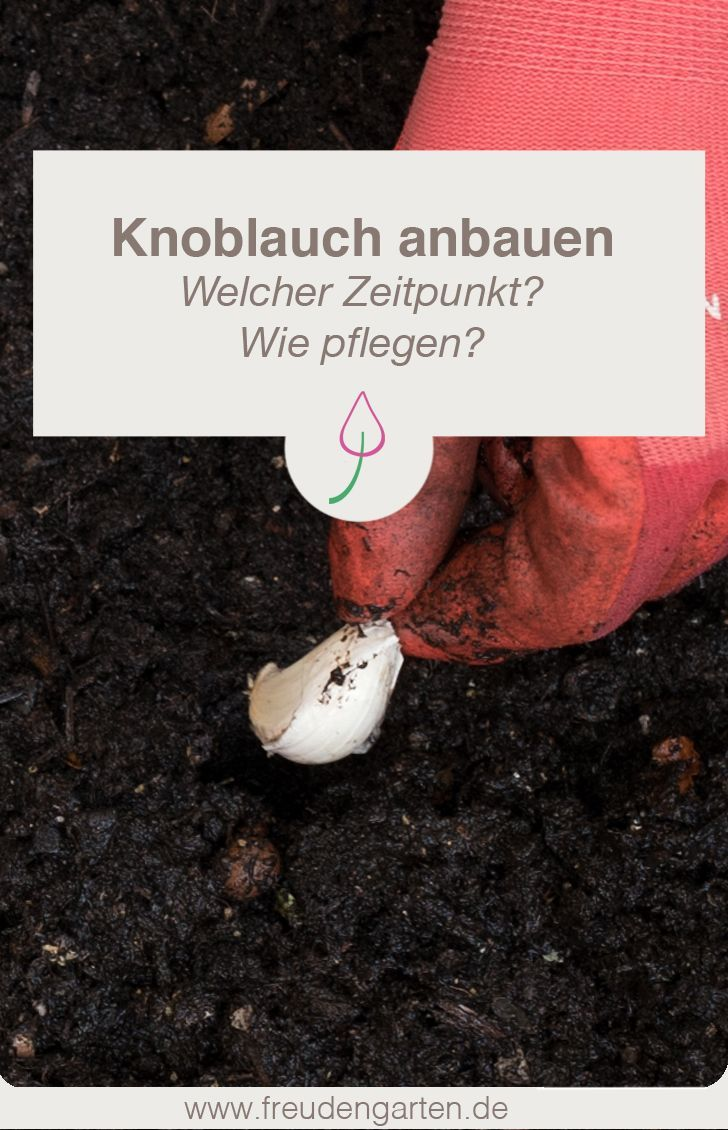 Knoblauch anbauen