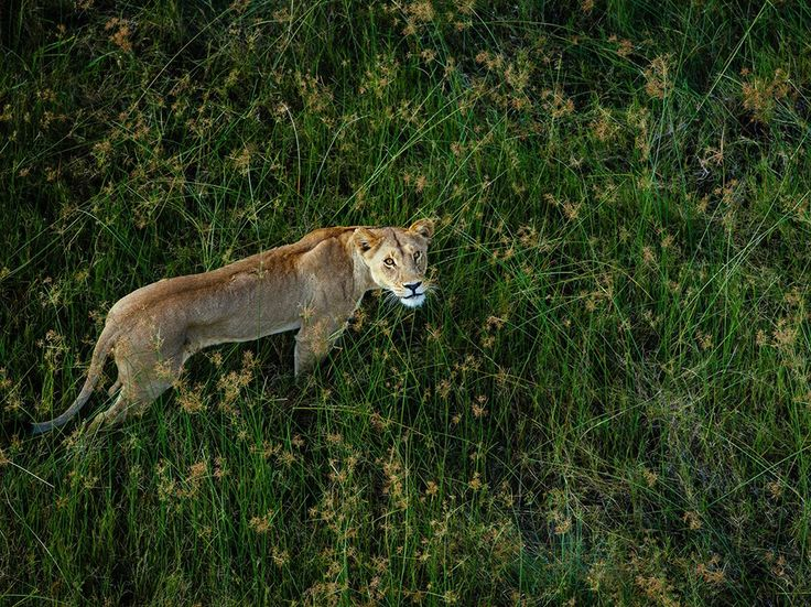 Lioness Image, Okavango Delta - National Geographic Photo of the Day