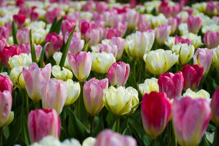 Bloemenveld van witte en roze tulpen