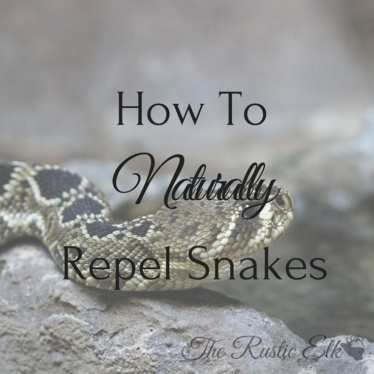 While most of us don't want to be close and personal to snakes, they do serve a purpose. Here is how to naturally repel snakes from your homestead.