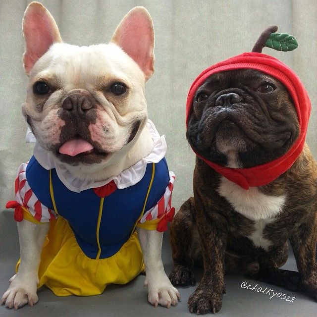 snow white and the poison apple french bulldogs in halloween costumes - Apple Halloween Costumes