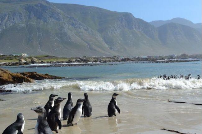 Penguin cape town endangered penguins set free at Bettys Bay