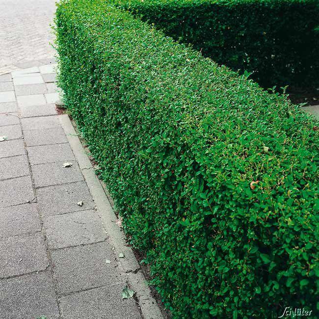 Wintergrüner Liguster 'Atrovirens' jetzt günstig in Ihrem MEIN SCHÖNER GARTEN - Gartencenter schnell und bequem online bestellen.