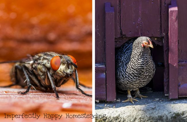 Banish flies from the chicken coop with these tips from imperfectlyhappy.com!