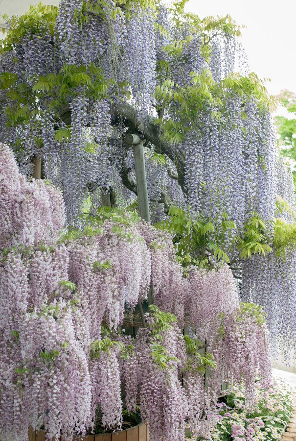 Best Wisteria Images On Pinterest Wisteria Beautiful And - Beautiful wisteria plant japan 144 years old
