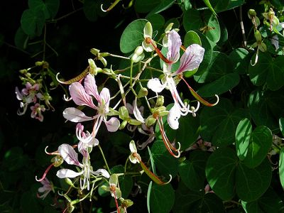 Austrailian evergreen vine Bauhinia Corymbosa Orchid Vine, Butterfly Vine, Fairy Vine, or Camels Foot. Growing 30-40 feet in zones 8-11 in full sun or part shade. This vine will blossom throughout the summer even in the warmest humid climates. The blossoms do resemble small lavender deeply veined orchids.