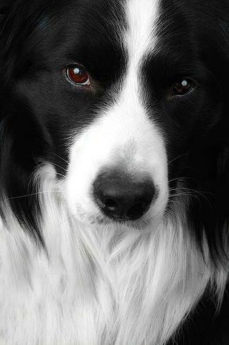 Border Collie very smart