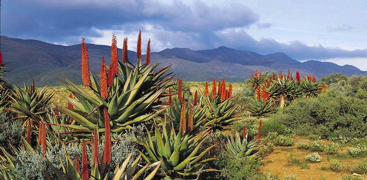 The Klein Karoo may initially appear bleak, but it  supports the biggest variety…
