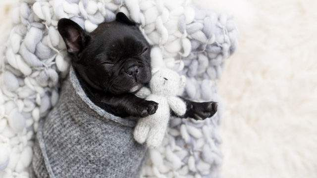 99 Adorable Baby French Bulldog Puppies In 2020 Bulldog Puppies French Bulldog Puppies Baby French Bulldog