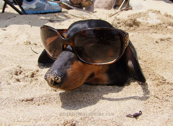 damn papparazzi!!: Dachshund Dogs, Dachshund Stuff, Beaches Dogs, Weenie Dogs, Funny Dachshund, Beaches Bum, Weiner Dogs, Wiener Dogs, Hot Dogs