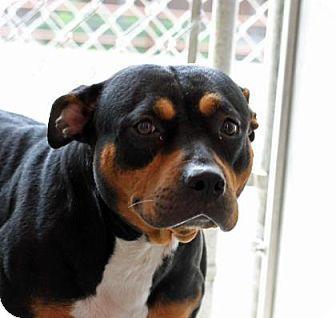 Mejores Imágenes De ROTTWEILER MIXED En Pinterest - Terrier and rottweiler
