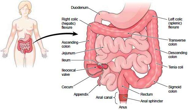 the large intestine the large intestine is approximately 6.5 cm, Cephalic Vein