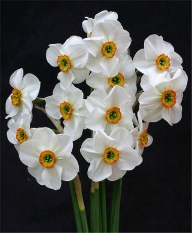 Narcissus Angel Eyes - Poeticus Narcissi - Narcissi - 50