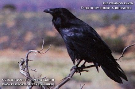 raven bird pictures | Raven-bird-raven.jpg