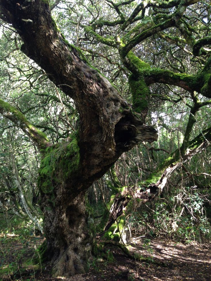 1000-year old Milkwood tree in the magical indigenous forest of the Platbos Forest Retreat, Gansbaai, Western Cape, South Africa
