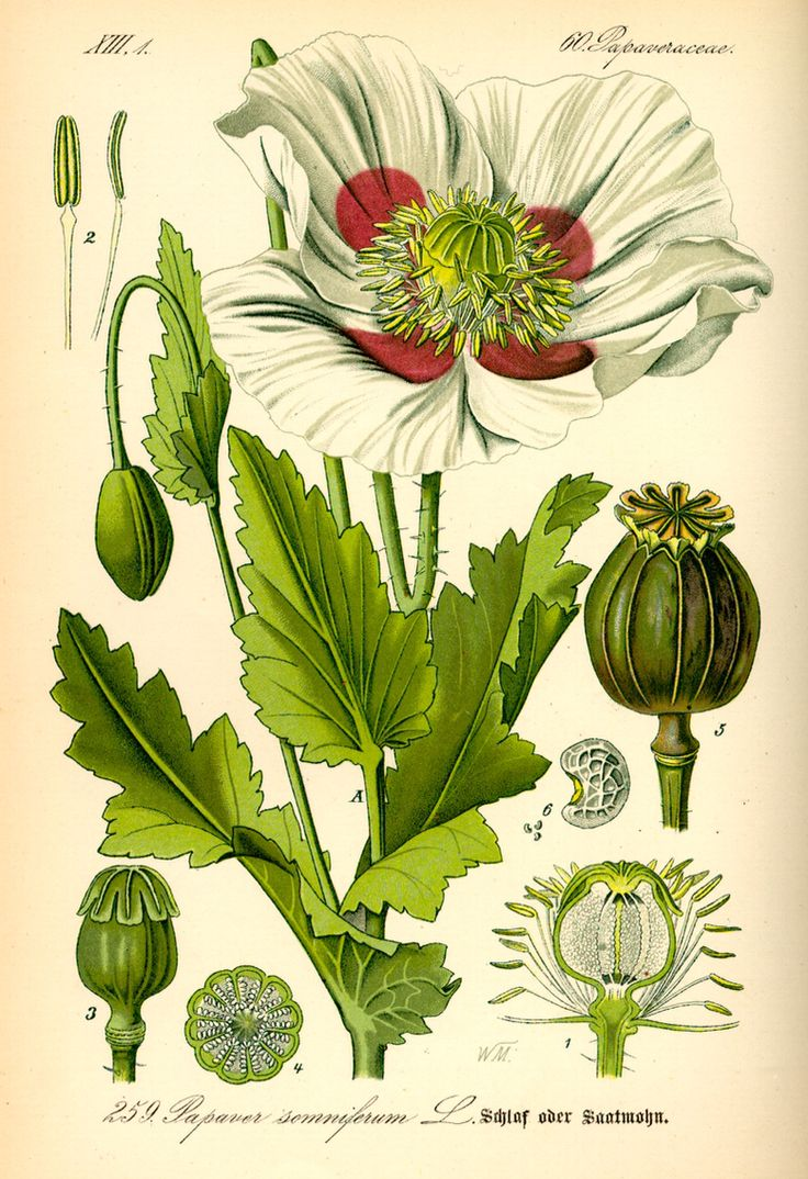 Papaver somniferum, from Flora von Deutschland, Österreich und der Schweiz, by Prof. Dr. Otto Wilhelm Thomé, Germany, 1885