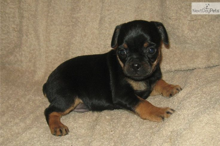 You'll love this Male Carlin Pinscher puppy looking for a new home.