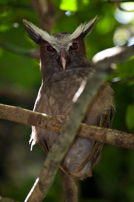 Crested Owl | by sjdavies1969