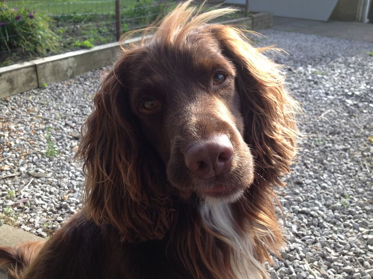 Sprocker Spaniel Spikes Spaniels Er Riveting