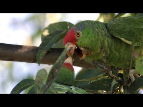 Bird of the Border:   Red-crowned Parrot    This stocky parrot is also known as Green-cheeked or Red-crowned Amazon, or in Spanish vernacular, Loro Tamaulipeco or Loro Cabeza Roja. It can be told from other local parrots by its red forehead, pale bill, and black-tipped nape and back feathering.