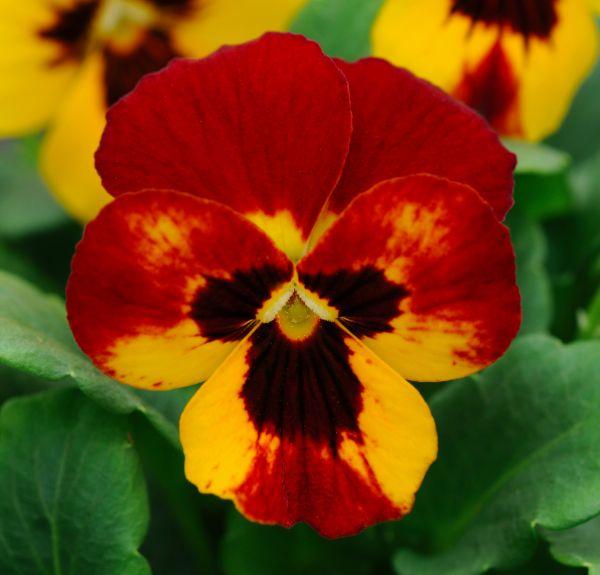 Pansy Blaze #pohlmansnursery #10pots #gardening #australia